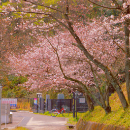 freetoedit spring photography tree cherryblossoms