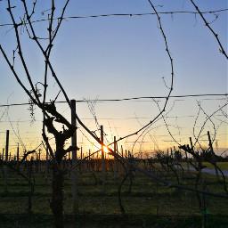 freetoedit sun sunset vineyard walkingalone