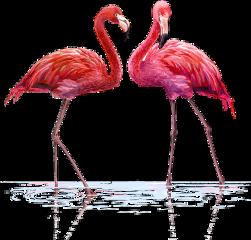 flamingo flamingos watercolor water background freetoedit