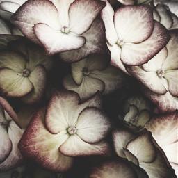freetoedit photography hydrangeas beautiful myclick