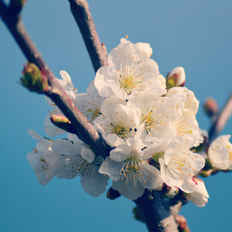 freetoedit photography blossom spring flowers