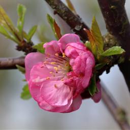 blossom spring flower pink nature