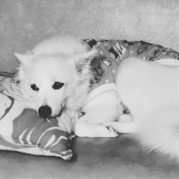 whitedog japanesespitz dog spoileddog
