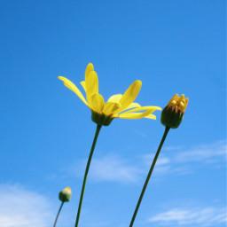 freetoedit flowers daisyflower sky blue