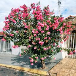 freetoedit pink urban street tree