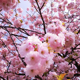 spring blossom pink nature myphoto freetoedit