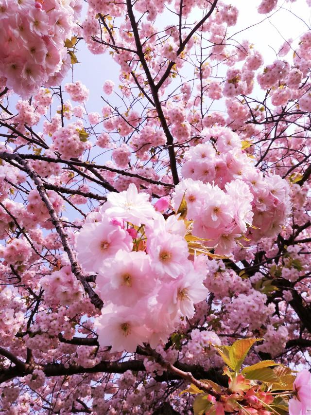 #spring #blossom #pink #nature #myphoto  #freetoedit