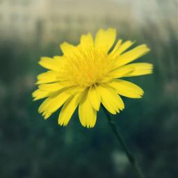 myphotography photography yellowflower colorsplash freetoedit