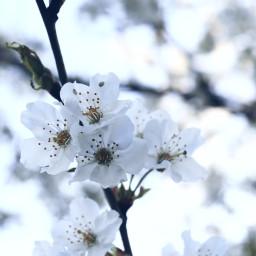 nature blossom cherryblossom flower flowerpower freetoedit
