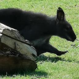 freetoedit kangoroo