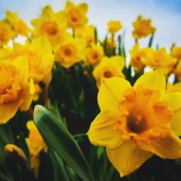 freetoedit lowangle flowers yellow daffodils