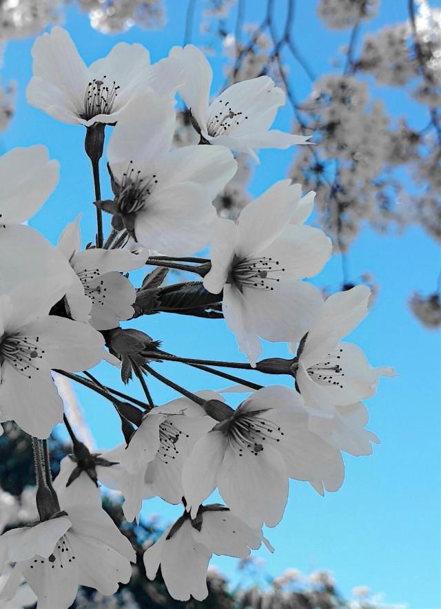 #freetoedit #bloom #flower #sky