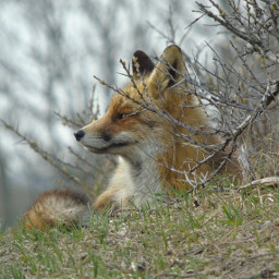 naturephotography natureporn fox foxylady animals