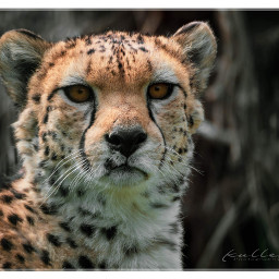 freetoedit pczoo zoo cheetah animal