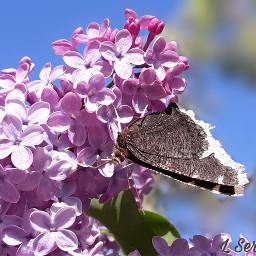 freetoedit springishere lilac