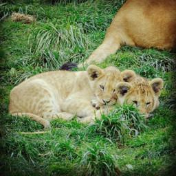 lion roarr lion_love lioncub cubs