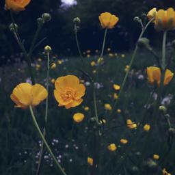 flower flowerpower buttercups wildflower freetoedit