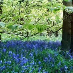freetoedit forest trees bluebells spring pcforest