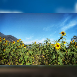 freetoedit sunflowers🌻💛🌻 sunflowers