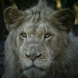 lion littlelion petsandanimals feline beauty