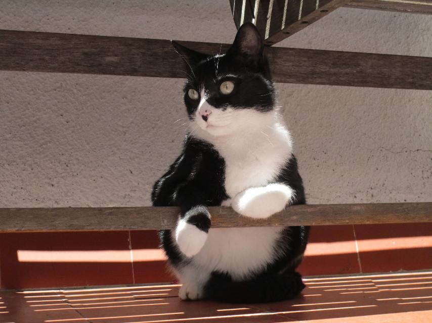 CHICA #mypet #cats #catsofpicsart #cute #petsandanimals
