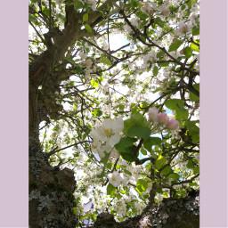 photography nature appletree blossom sunnyday