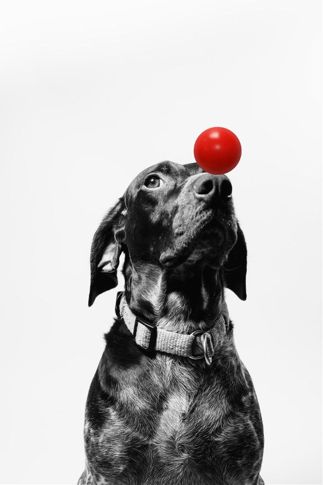 #freetoedit #dog #black #rednose #red #blackandwhite #picsarteffects #srcrednose #madewithpicsart