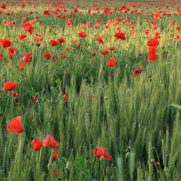freetoedit nature field poppies wheat pcrurallife