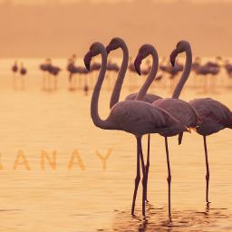 photography flamingo goldenlight freetoedit