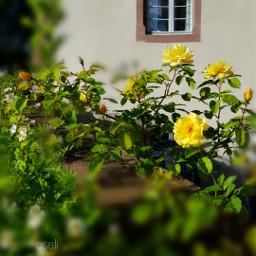csefi roses window historic garden
