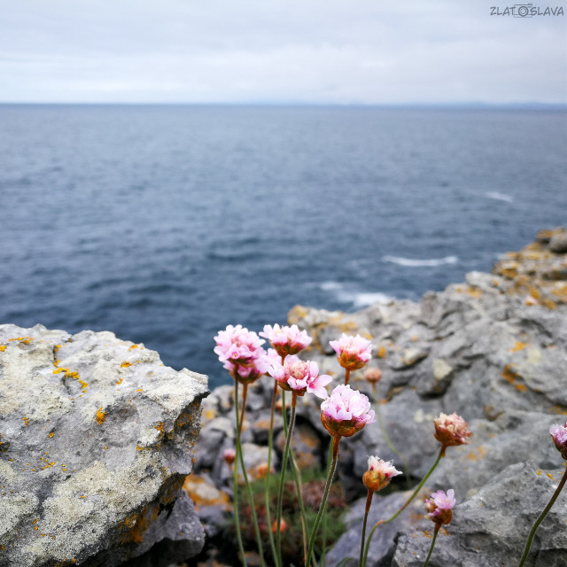 📍Baby Cliffs of Moher #cliffsofmoher #cliffs #sea #water #flower #flowers #pinkflowers #pink #pinkflower #stones #ireland #irelandcliffs #ireland2019 #ireland_travel #irelandtravel #irelandtravelling