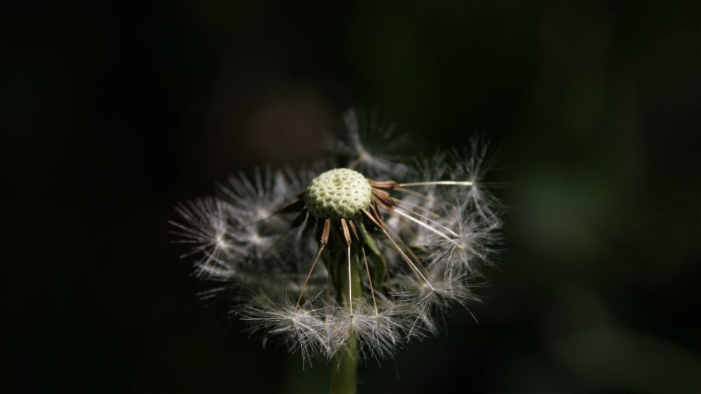 ...i love these little dandelions... Iso100  1/200 and f8.0  #freetoedit #dandelion #flower #naturephotography #nature #photography