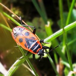 käfer feuerwanze nature naturephotography natureporn