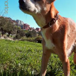 freetoedit dogday dog pconthegrass onthegrass