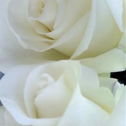 freetoedit roses white whiteroses myphoto