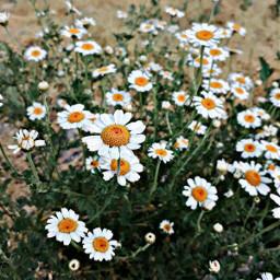 freetoedit remixit remixed daisy flowers