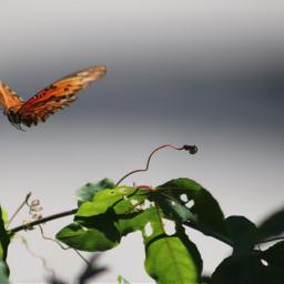 freetoedit butterflylove vividcolor beautyinnature onmystreet