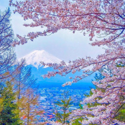 freetoedit cherryblossom nature beauty japan scenicview