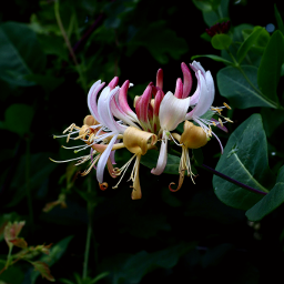 nature flower honeysuckle outandabout freetoedit