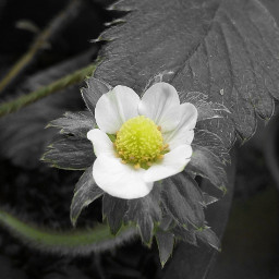 strawberry flower focused blackandwhite