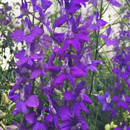 freetoedit purpleisnewblack flowerpower flowerphotography picsartlife