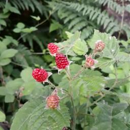 berries nature oregon summer adjusttool freetoedit