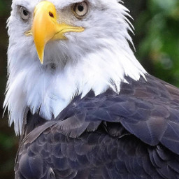 eagle brids animals flying wallpapers freetoedit