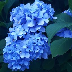 flowers myyard hydrangeas