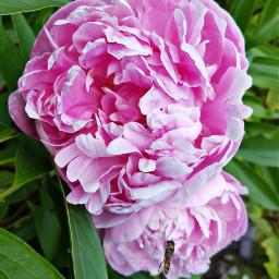 freetoedit bunia0914 myphoto flowers summer