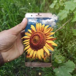 sunflowers huaweip20pro picsart doubleexposure myart