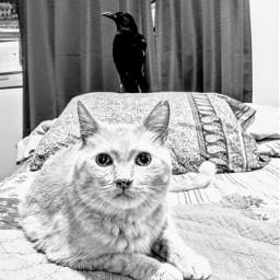 blackandwhite highdefinition cat feline crow
