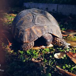черепаха tartarugas