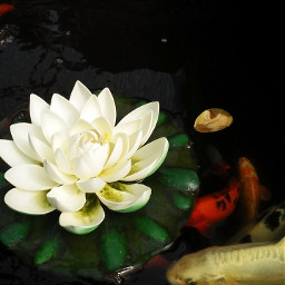 freetoedit waterlily fishes
