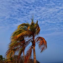 oxaca huatulco palmera playa freetoedit pcpalmtrees